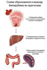 Выведение билирубина с организма