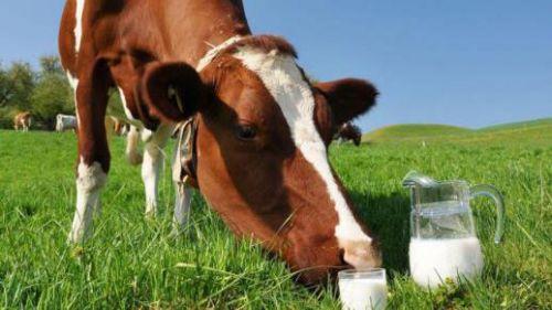 Корова и коровье молоко