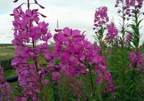 Растение иван-чай