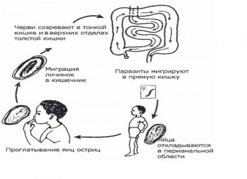 Процесс заражения глистами